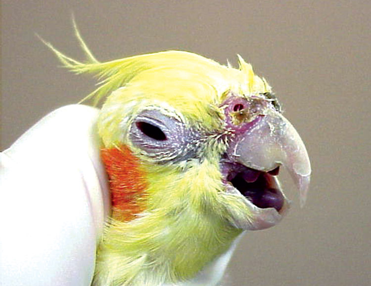 This lutino cockatiel has the upper respiratory signs associated with avian chlamydiosis