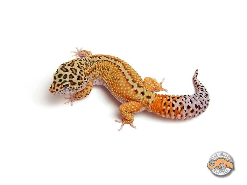 Image result for STRIPED leopard gecko