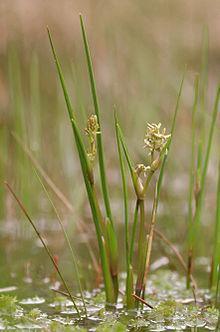 Hasil gambar untuk klasifikasi Scheuchzeria palustris