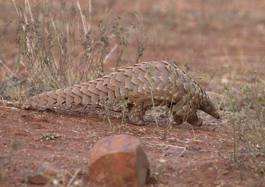 pangolin (Copy).jpg