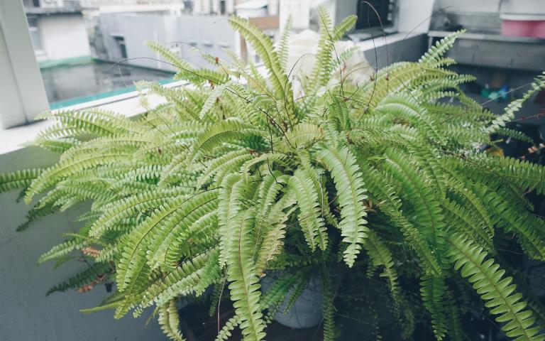 窗簾蕨 可吸收甲醛,還可去除空氣中的菸味及異味