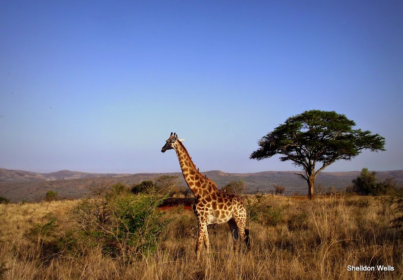 giraffe on our hluhluwe imfolozi game reserve tour