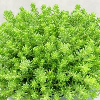 https://www.vitroflora.pl/img/produkty/rosliny/byliny-i-trawy_mat-forming-habit_71844_1.jpg