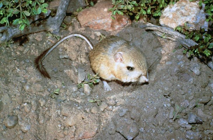 Kangeroo rat