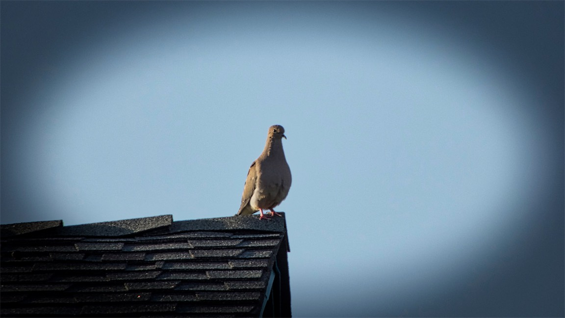Mourning Dove 2.jpg