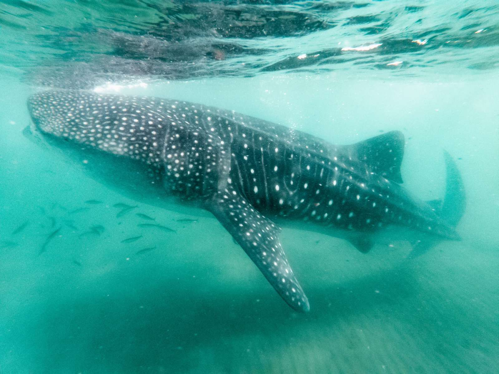 Whale shark ocean when Diving with Whale Sharks