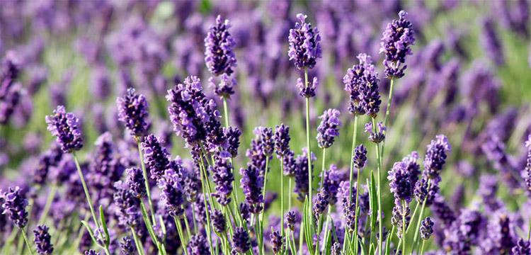 Lavender Essential Oil Uses and Benefits | AromaWeb