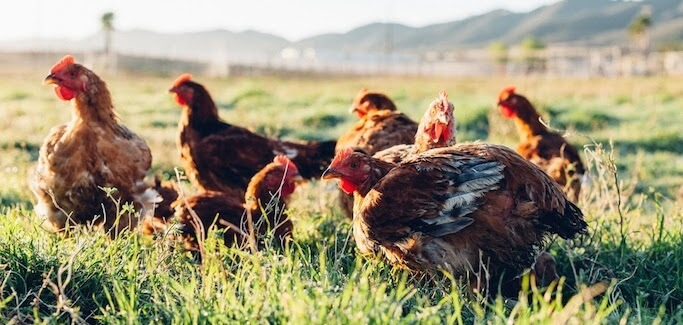 a Photo of Primal Chickens on the pasture at Primal Pastures