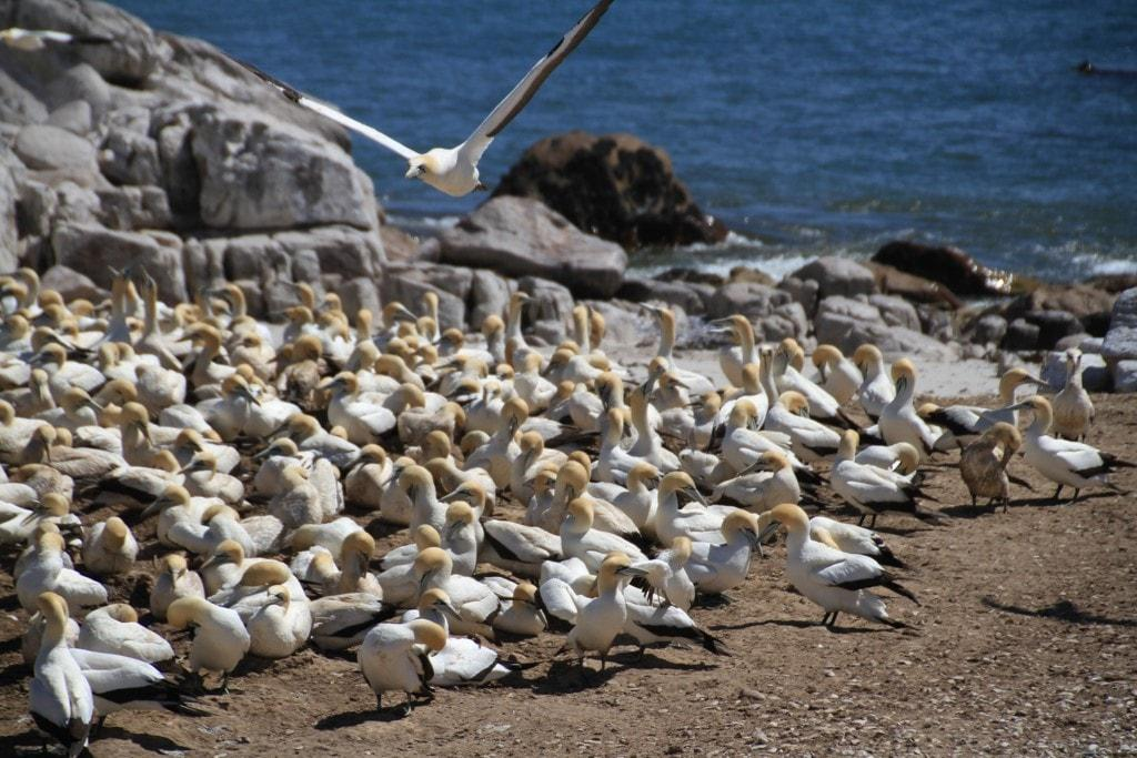 Birds at Lamberts Bay