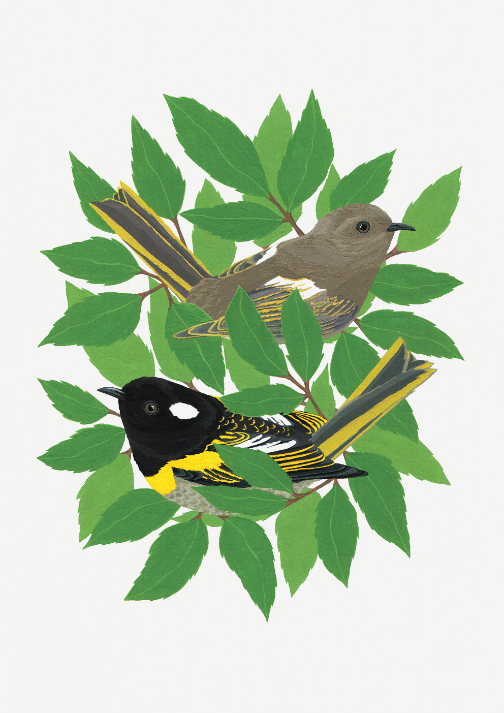An illustration of two hihi/stichbird by illustrator @ Melissa Boardman.