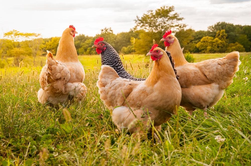 Se a doença atingir as criações de frango, as exportações brasileiras podem acabar aumentando. (Fonte: Shutterstock/Moonborne/Reprodução)