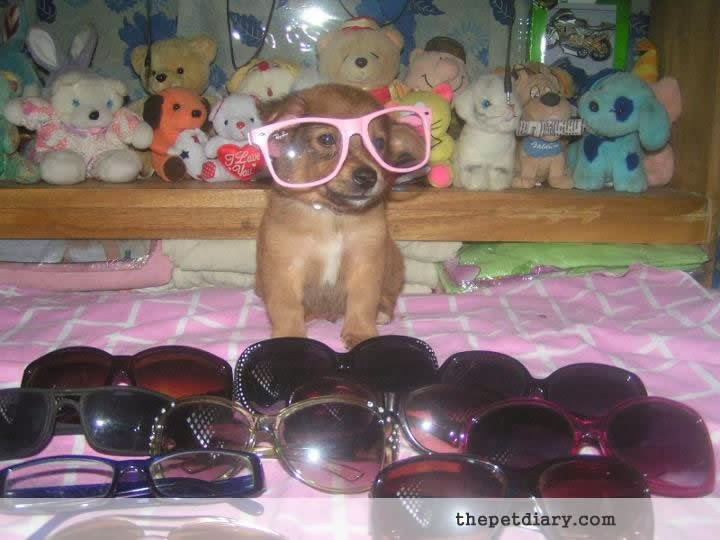 Cute Puppy with Sunglasses