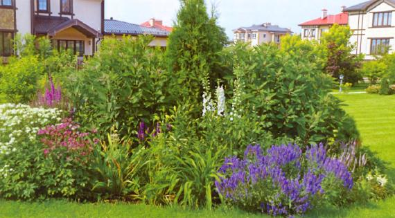 шалфей, цветник с шалфеем, цветы для сада