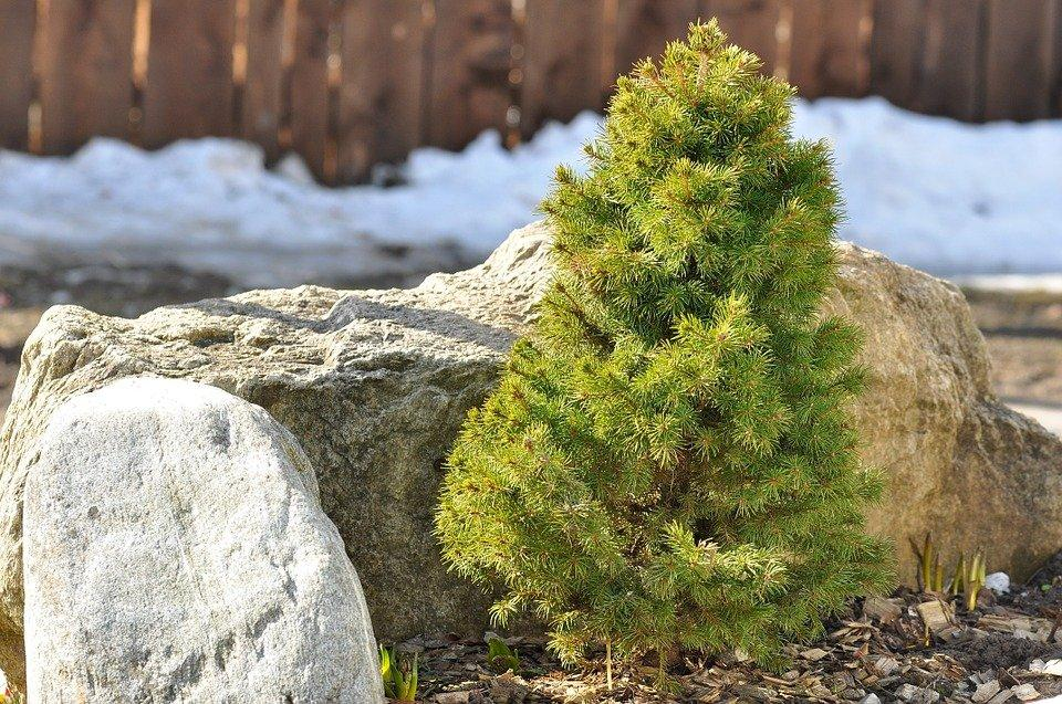 Dwarf Fir, Ornamental Plant, Plant, Stones, Tree