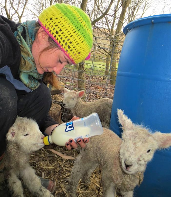 Jenny, bottle feeding orphan lambs during lambing time on the farm.