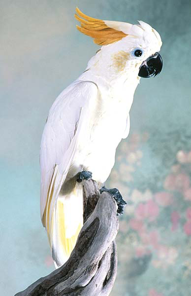 This citron-crested cockatoo is normal except for a mild unzipping of the crest feathers