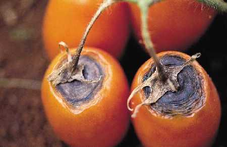 Doença do tomateiro - fungo 3