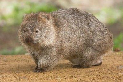 animales marsupiales