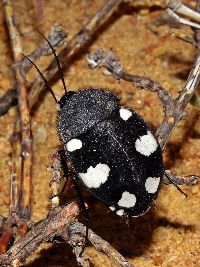 https://upload.wikimedia.org/wikipedia/commons/thumb/1/1e/Domino_cockroach_Therea_petiveriana.jpg/800px-Domino_cockroach_Therea_petiveriana.jpg