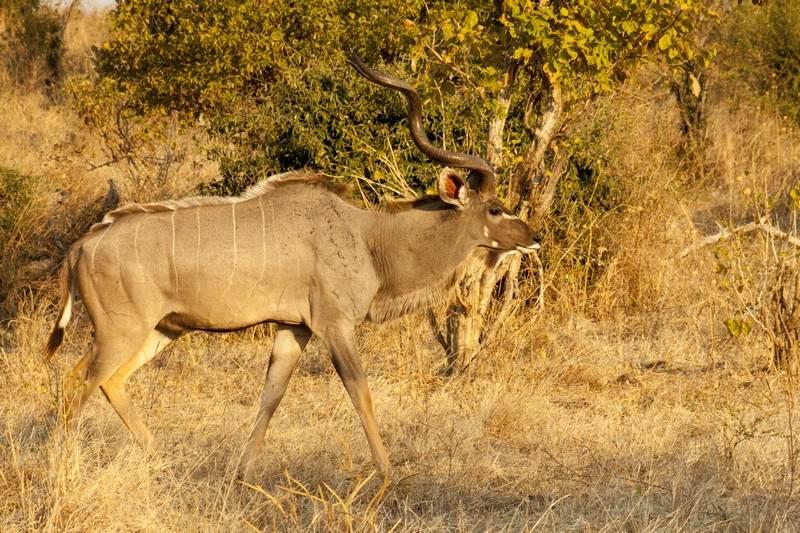 antelope-Kudu-male.jpg