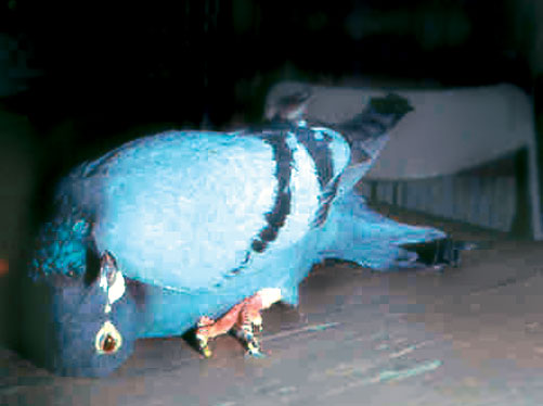 A pigeon (Columba livia) with paramyxovirus infection of the central nervous system demonstrates profound torticollis of the neck