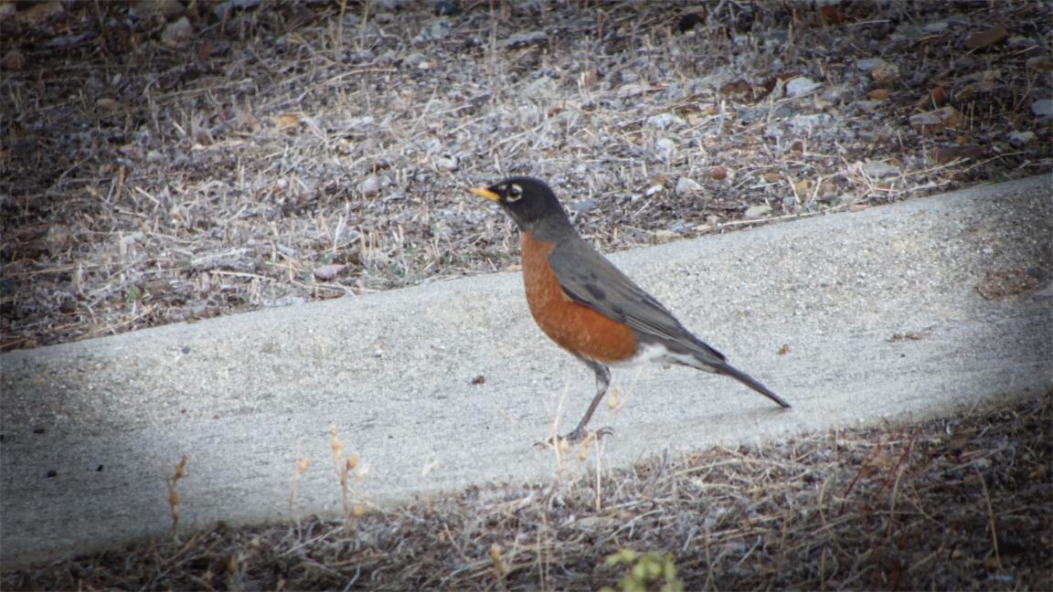 Striding Robin.jpg