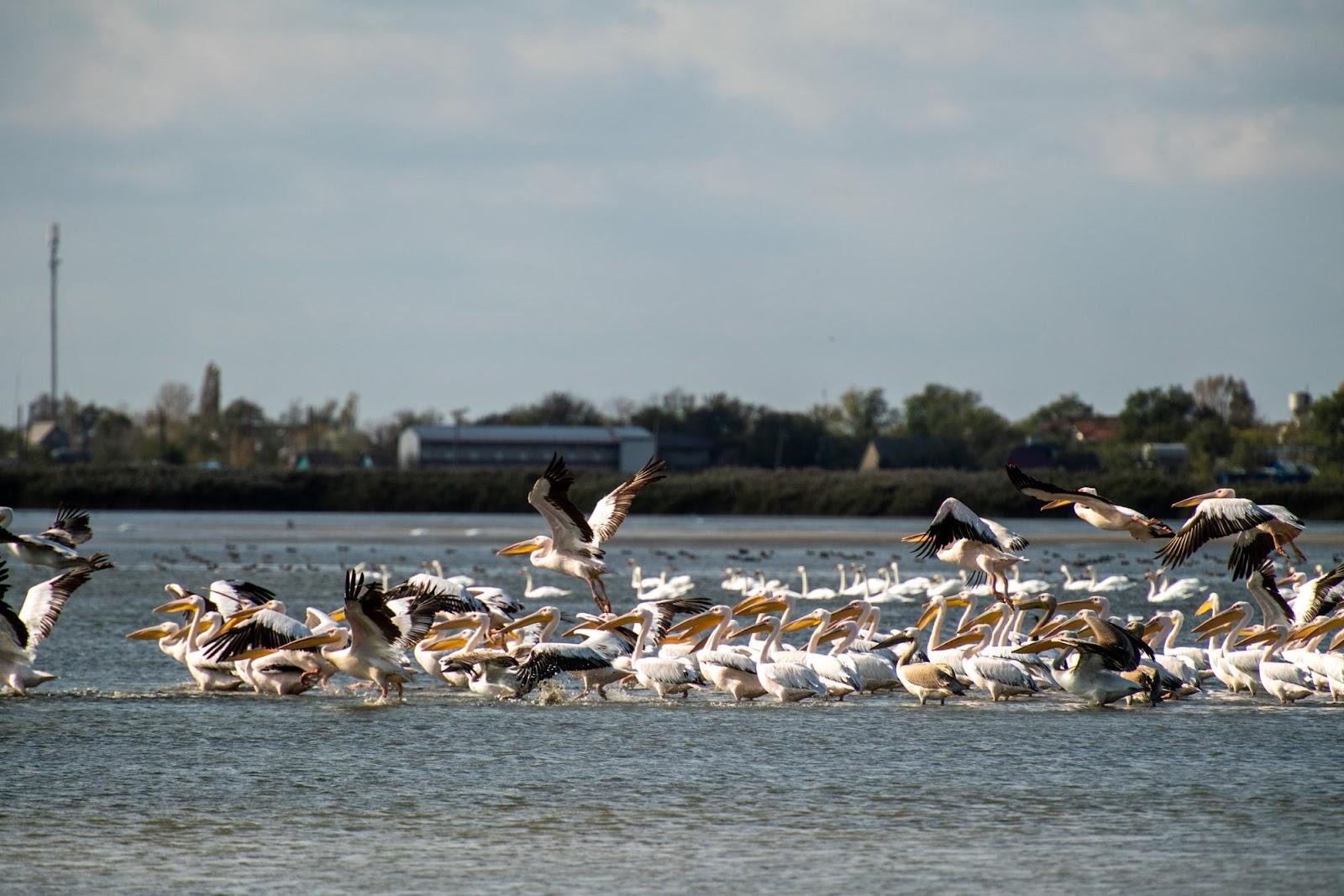 пеликаны Украина