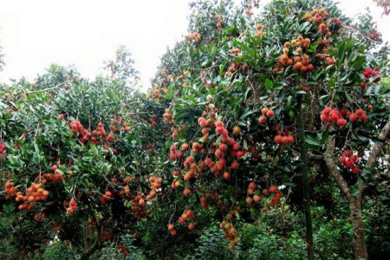 Chôm chôm chín rộ tại vườn trái cây Sáu Dương