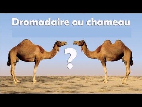 chameau et dromadaire.jpg