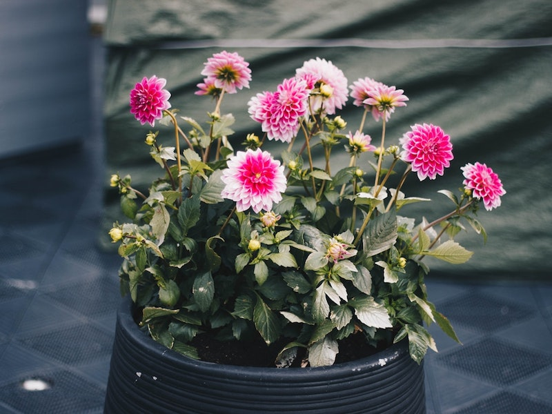 large pot of pink Chrysanthemums