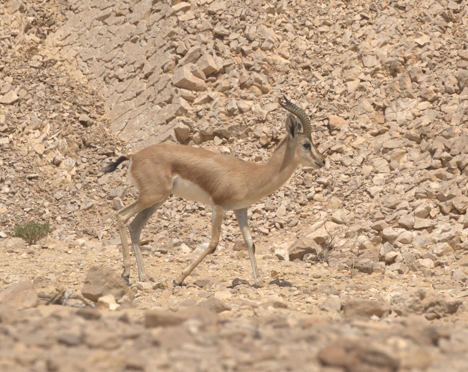 Dorcas gazelle 2_rsz.jpg