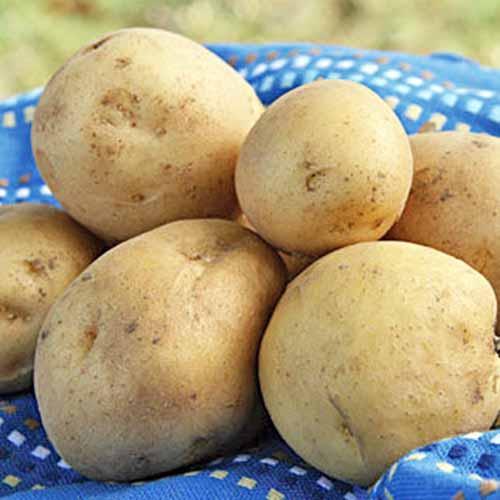 Kennebec-Potatoes.jpg
