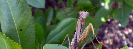 Pregadéus o plegamans (Mantis religiosa)