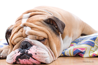 Skin Fold Pyodermas: What are Those Bulldog Wrinkles Hiding?
