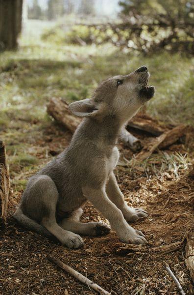 howling-wolf-puppy_1390939422996_4845_ver1.0.jpg