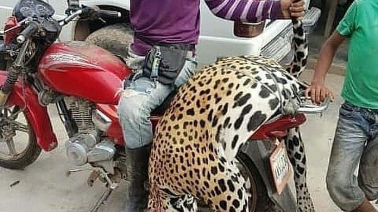C:UsersInfanteDesktopJAGUAR O YAGUARbarinas-obreros-de-una-finca-asesinaron-a-un-jaguar-una-especie-en-peligro-de-extincion-1280x720.jpg