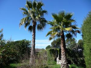 Washingtonia Robusta & Filifera (traitement possible, mais jugé inutile pour l'instant, car il y a très peu d'infestations constatées en PACA pour ces palmiers.)