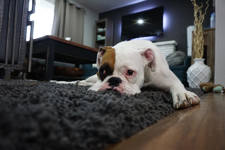 Hond die op een tapijt ligt
