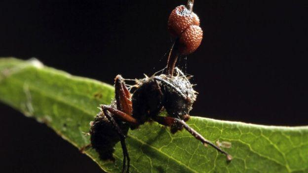 Этому муравью-зомби уже не помочь: паразитический грибок победил