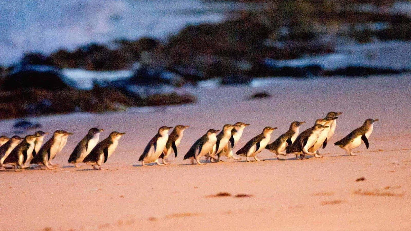Image result for penguin parade photo