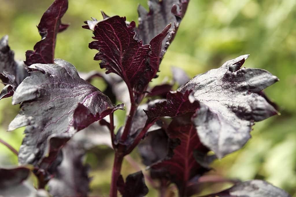 Basil (Purple Ruffles variety) growing in an organic field