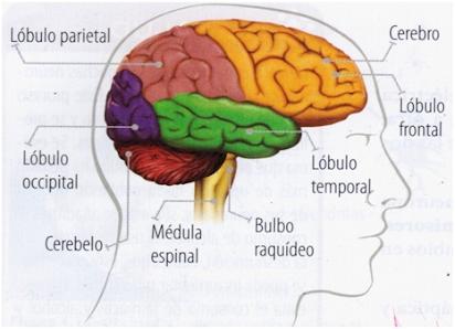 cervell i les venes