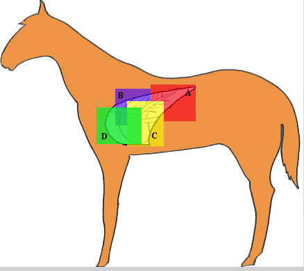 A silhouette of a horse showing placement of cassettes (35 x 43 cm) required to image the entire thorax and lungs of an average horse (750 kg). The dorsal caudal projection (A) is most representative of the systemic lung and combined with the ventral caudal projection (C) the majority of pulmonary and thoracic disease is seen. The dorsal cranial projection is best for evaluation of the conductive airways and hilar lymph nodes. The ventral cranial projection (D) usually results in suboptimal film quality due to the superimposed muscle mass and the small lung volume.