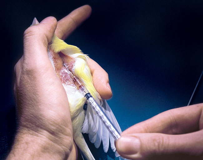 The right jugular vein in a canary is used for blood sampling