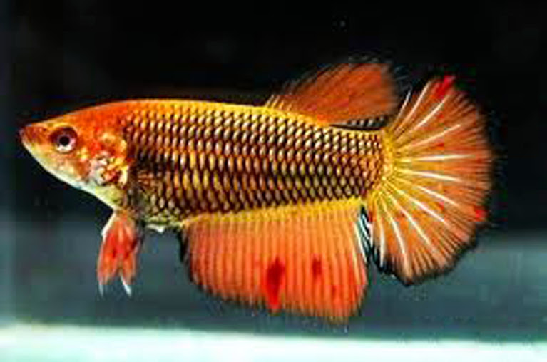 All about betta fish yellow mustard gas famale halfmoon for Pictures of female betta fish