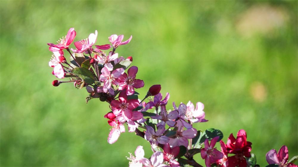Cherry Blossoms 3.jpg