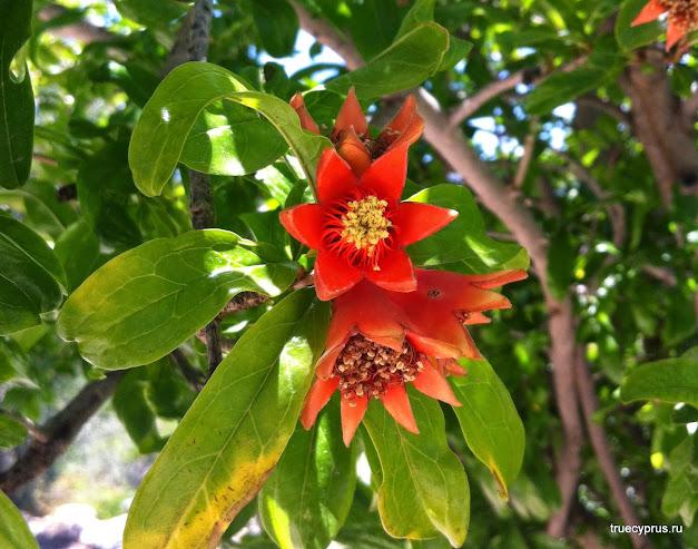 цветение гранатового дерева, гранат цветет, кипр, пафос