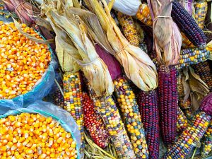 Traditional corn varieties