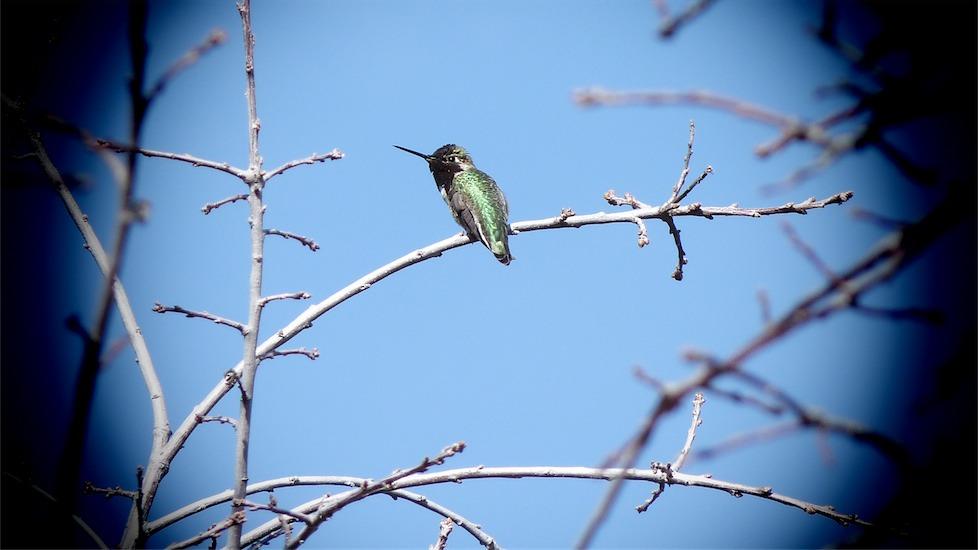 Resting Hummingbird.jpg