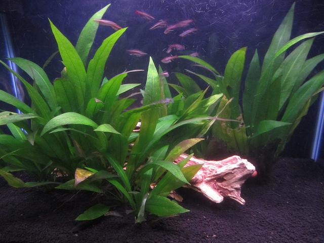 Amazon sword plants in aquarium